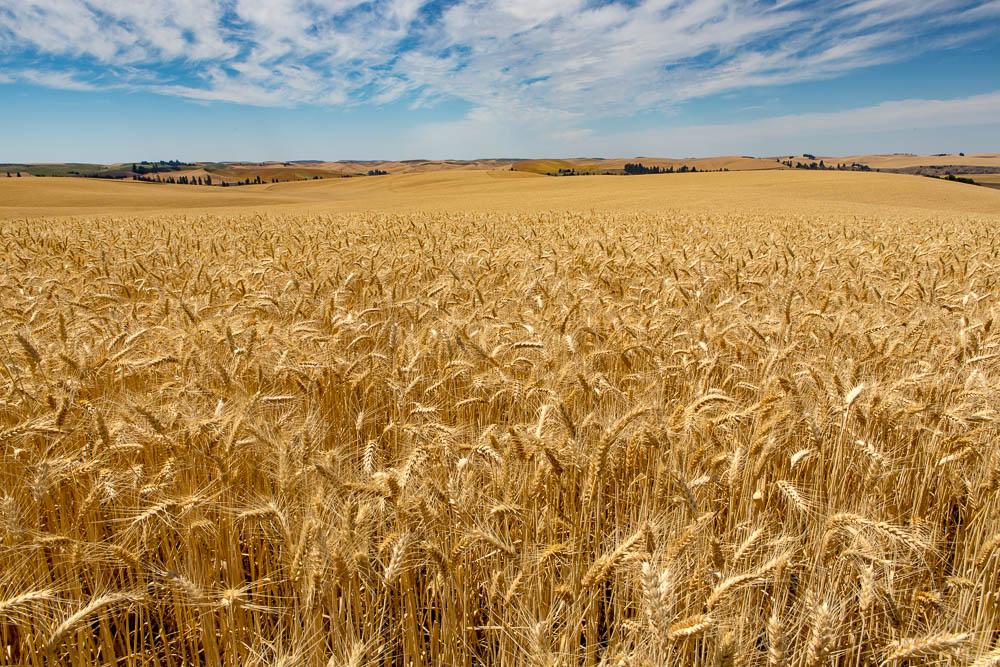 Wheat Fields, Whitman, WA