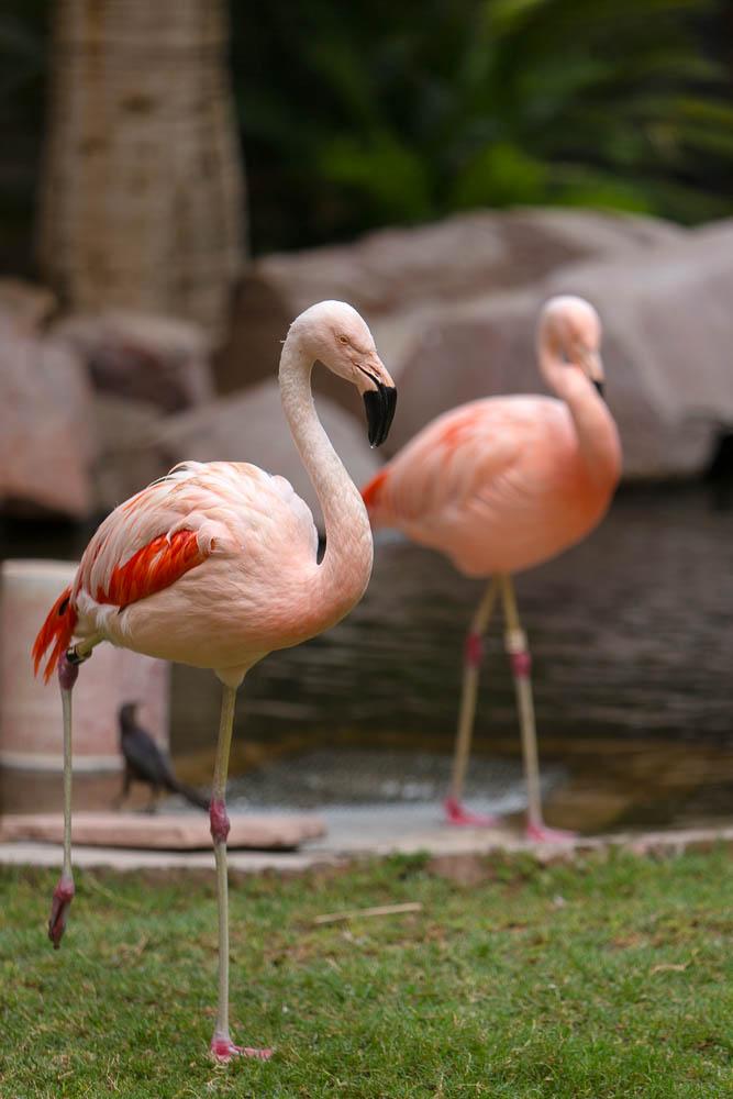 Flamingos, The Flamingo Hotel, Paradise (!), NV