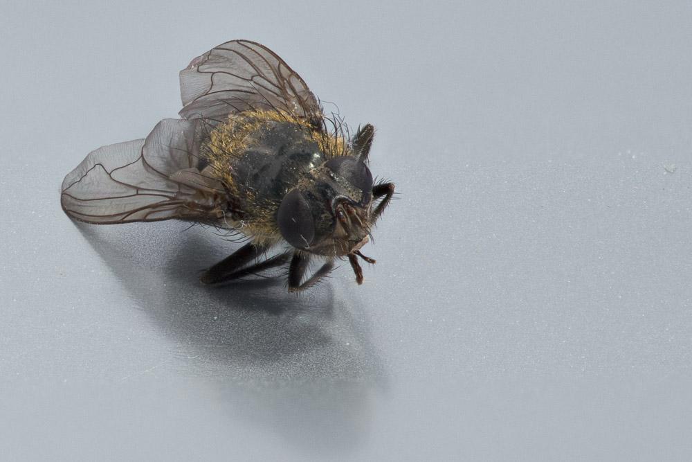 Dead fly