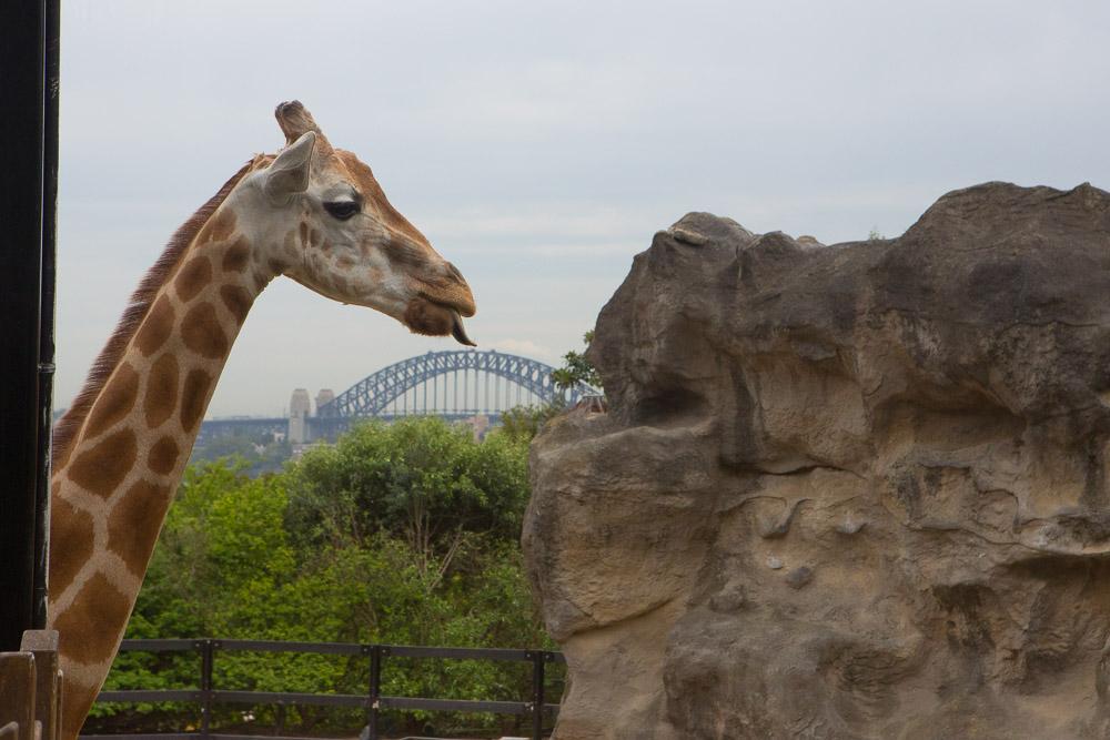Giraffe licking Harbour Bridge, Taronga Zoo, Sydney
