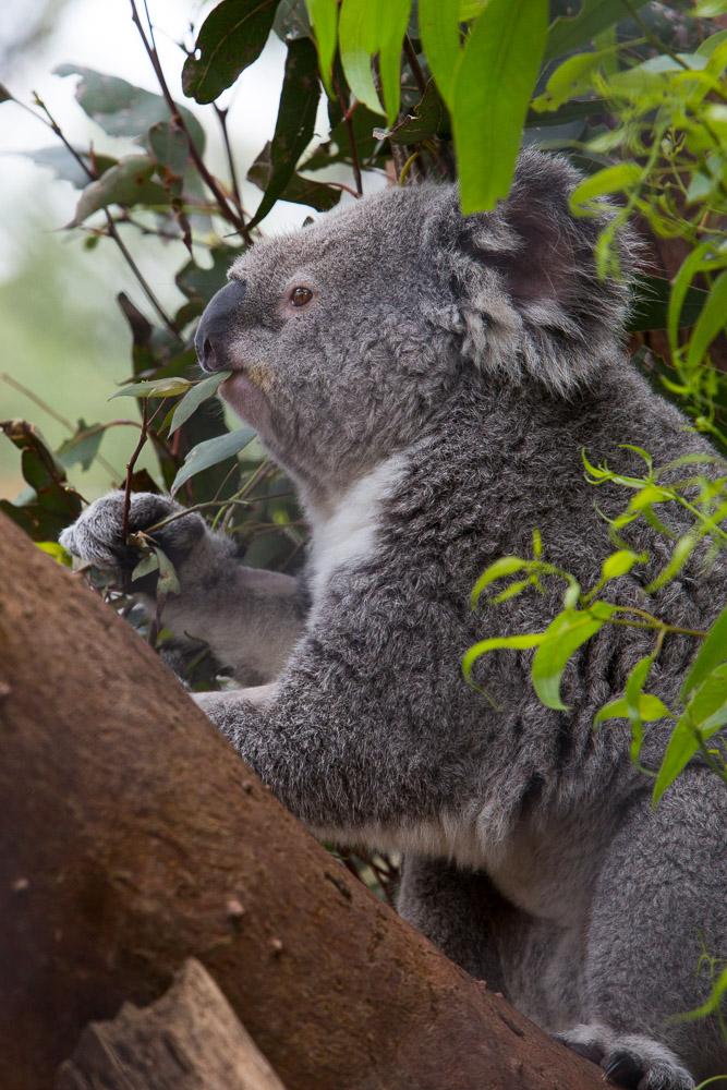 Koala, Taronga Zoo, Sydney