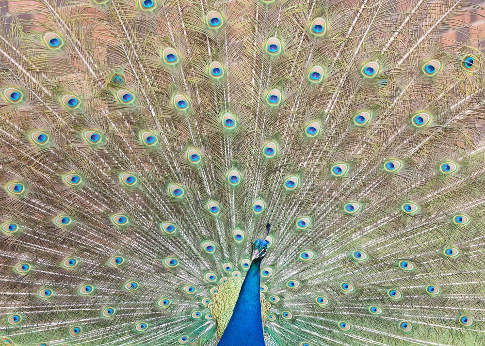 Peacock, Taronga Zoo, Sydney